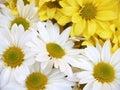 Daisies - chrysanthemum maximum Stock Image