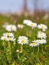 Daisies close up of on a field Royalty Free Stock Photo