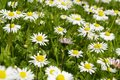Daisies close up green meadow and Stock Photography