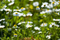 Daisies close up image of daisy flowers abstract patterns useful for backgrounds and backdrops convey sense of purity tranquility Stock Photo