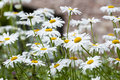Daisies close up of spring white in a field peace serenity purity concepts Stock Images