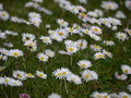 Daisies common bellis perennis growing in ireland Royalty Free Stock Photography