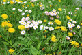 Daisies and dandelions in grass as spring background Royalty Free Stock Photography