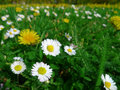 Daisies and dandelions meadow flowers daisy dandelion Royalty Free Stock Photo