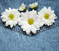 Daisies on denim fabric white blue Stock Images