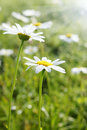 Daisies dew meadow Stock Photo