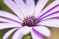 Daisies extreme close up image of daisy flower abstract patterns useful for backgrounds and backdrops convey sense of purity Stock Photography