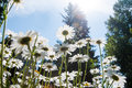 Daisies field detail growing in a garden Royalty Free Stock Photos