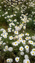 Daisies in field green with and white wild flowers Royalty Free Stock Image