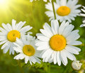 Daisies in a field, macro Royalty Free Stock Photo