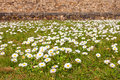 Daisies on a field many one red ladybug the ground Stock Photography