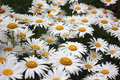 Daisies a field of white and yellow Stock Images