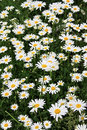 Daisies flowerbed on the green grass Stock Image