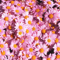 Daisies fresh pink in a market italy Royalty Free Stock Images