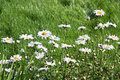 Daisies in grass Stock Photo
