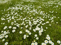 Daisies in the Grass Stock Photos