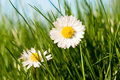 Daisies in the grass Stock Photography