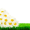 Daisies on the grass isolated white background Stock Photography