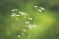 Daisies in green bokeh background