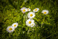 Daisies in green meadow some a sunny weather the spring Stock Photo