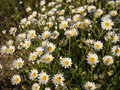 Daisies lots of in the sunshine Stock Photography