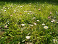 Daisies meadow Stock Photography
