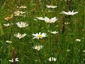 Daisies in meadow Royalty Free Stock Photo