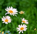 Daisies In Nature.