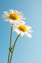 Daisies over blue sky Royalty Free Stock Photo