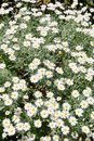 Daisies plants of in full bloom asteraceae Royalty Free Stock Photo