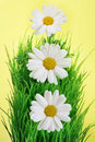 Daisies in a row Royalty Free Stock Photo