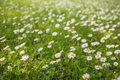 Daisies shivering on a light spring breeze on a sunny day. Royalty Free Stock Photo