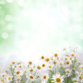 Daisies summer background with in green background Stock Image