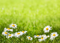 Daisies on a sunny lawn with copy space closeup photo of against grass shallow depth of field and above Stock Photo