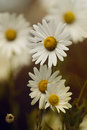 Daisies on sunset. Royalty Free Stock Photo