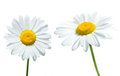 Daisies Royalty Free Stock Photo