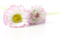 Daisies two on a white table Royalty Free Stock Image