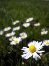 Daisies - vertical Royalty Free Stock Images