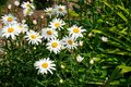 Daisies white in green grass Stock Photos