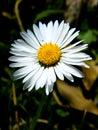 Daisy Royalty Free Stock Photos