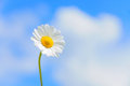 Daisy against the blue sky and clouds single bright with selective focus first third composition Stock Photography