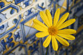 Daisy on andalusian tiles Royalty Free Stock Photo