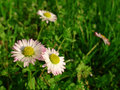 Daisy bellis perennis meadow flower Royalty Free Stock Image