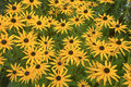 Daisy black eyed susan perennial flowering plant in a garden Stock Image