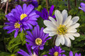 Daisy blooms vividly colored like spring at port defiance park in tacoma washington Stock Photo