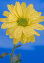 Daisy on a blue background. Royalty Free Stock Photos