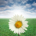 Daisy and blue sky Royalty Free Stock Photo