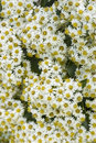 Daisy bush background texture olearia x scilloniensis Royalty Free Stock Photo