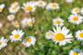 Daisy bush flowering in summer Royalty Free Stock Photo