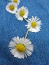 Daisy chain Royalty Free Stock Image